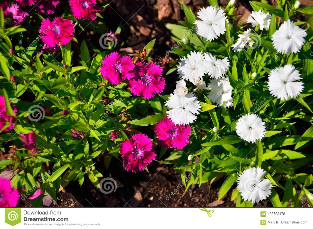 Small purple and white flowers stock photo image of spring download small purple and white flowers stock photo image of spring background 103798476 mightylinksfo