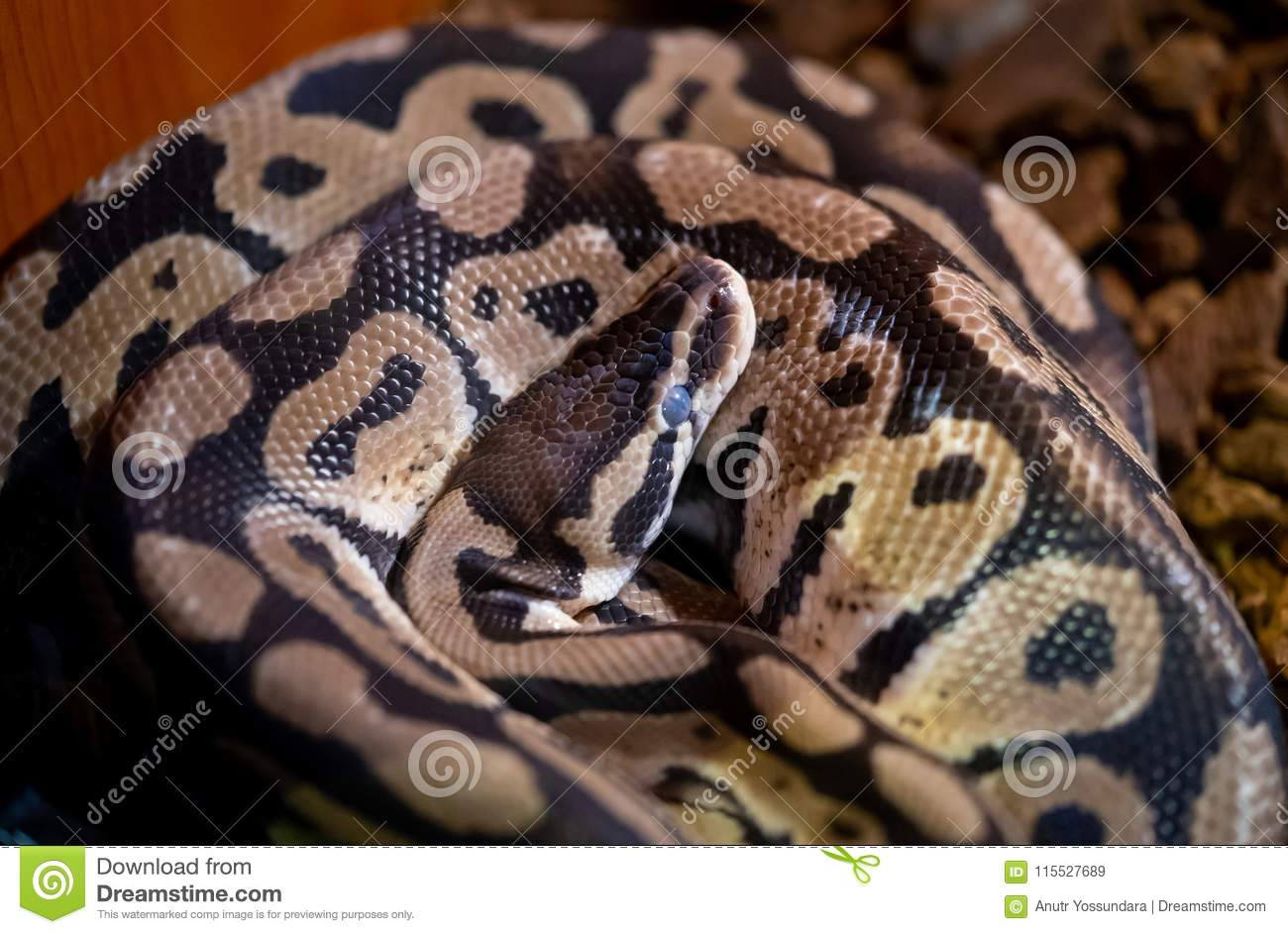 Python Snake Reptile Coiling And Sleeping Stock Image