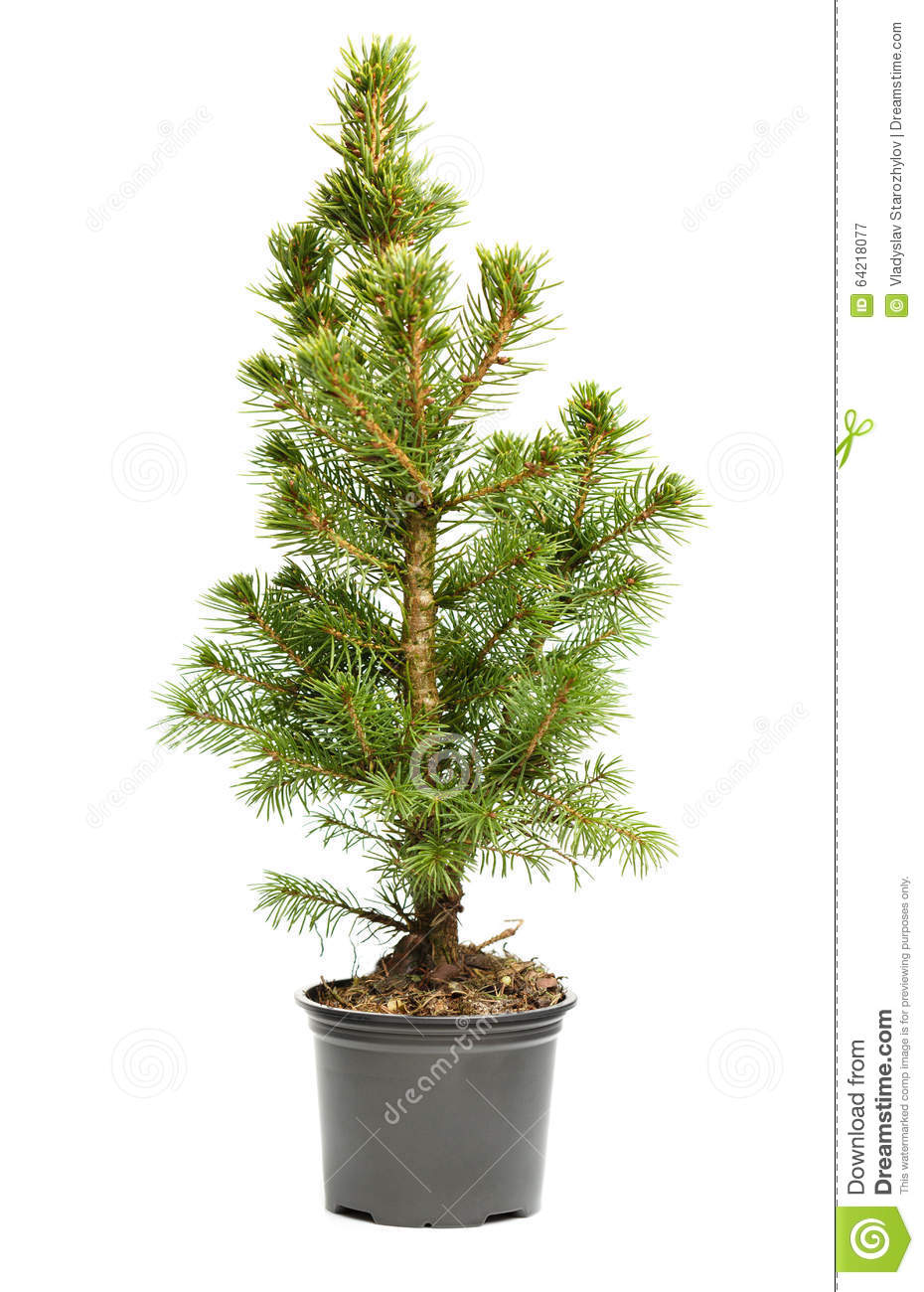 Small Real Undecorated Bare Christmas Tree In A Pot Stock