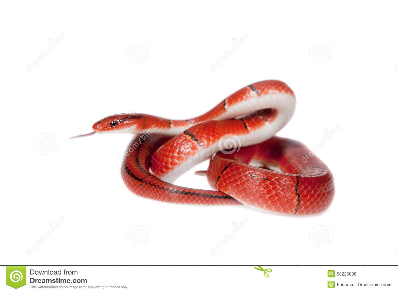 Small Red Bamboo Snake Isolated On White Stock Photo