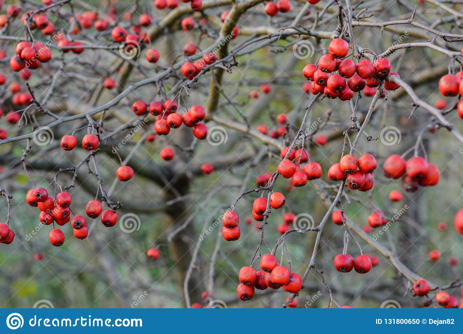 Small Red Berries On A Bush Stock Photo Image Of Berries