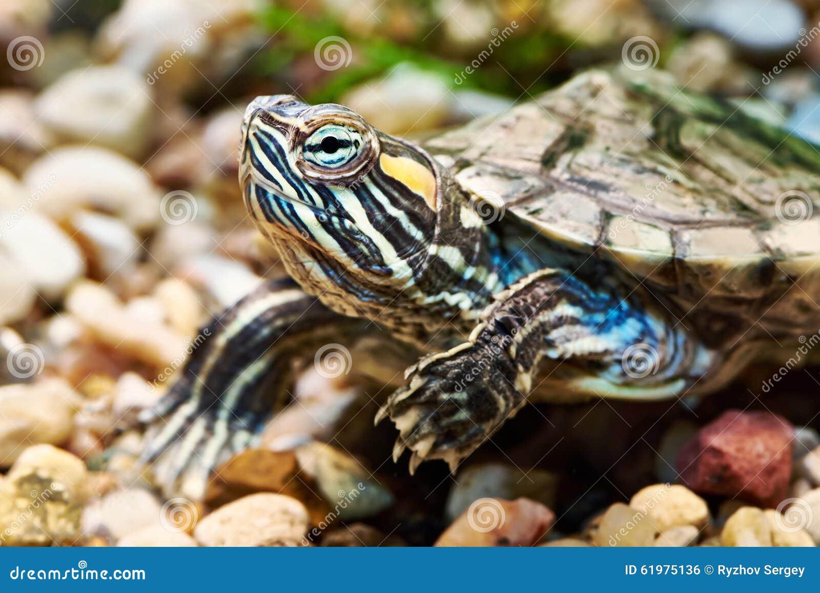 Small red-ear turtle in aquarium.