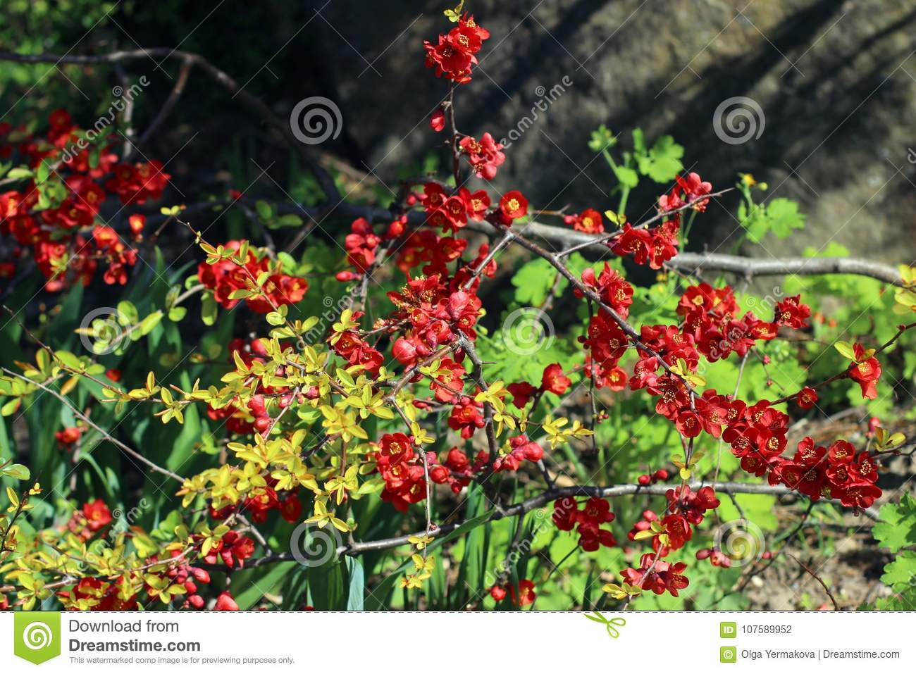 Small Red Flowers On The Branches In The Garden Stock Photo Image