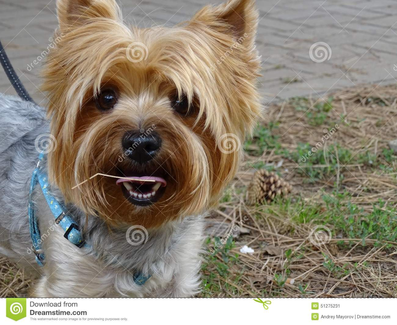 small red hair dog stock image. image of cute, small - 51275231