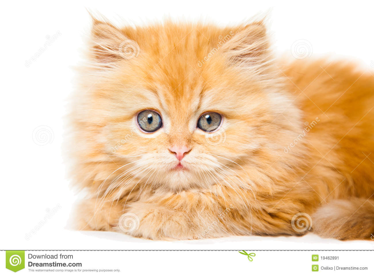 Small Red Persian Kitten Stock Image - Image: 19462891