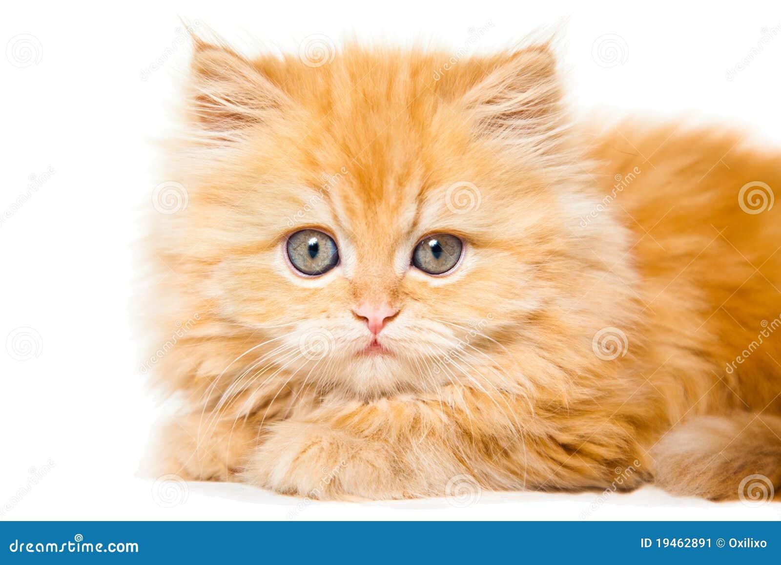 Orange And White Persian Kitten Small red persian kitten White Teacup Persian Kitten