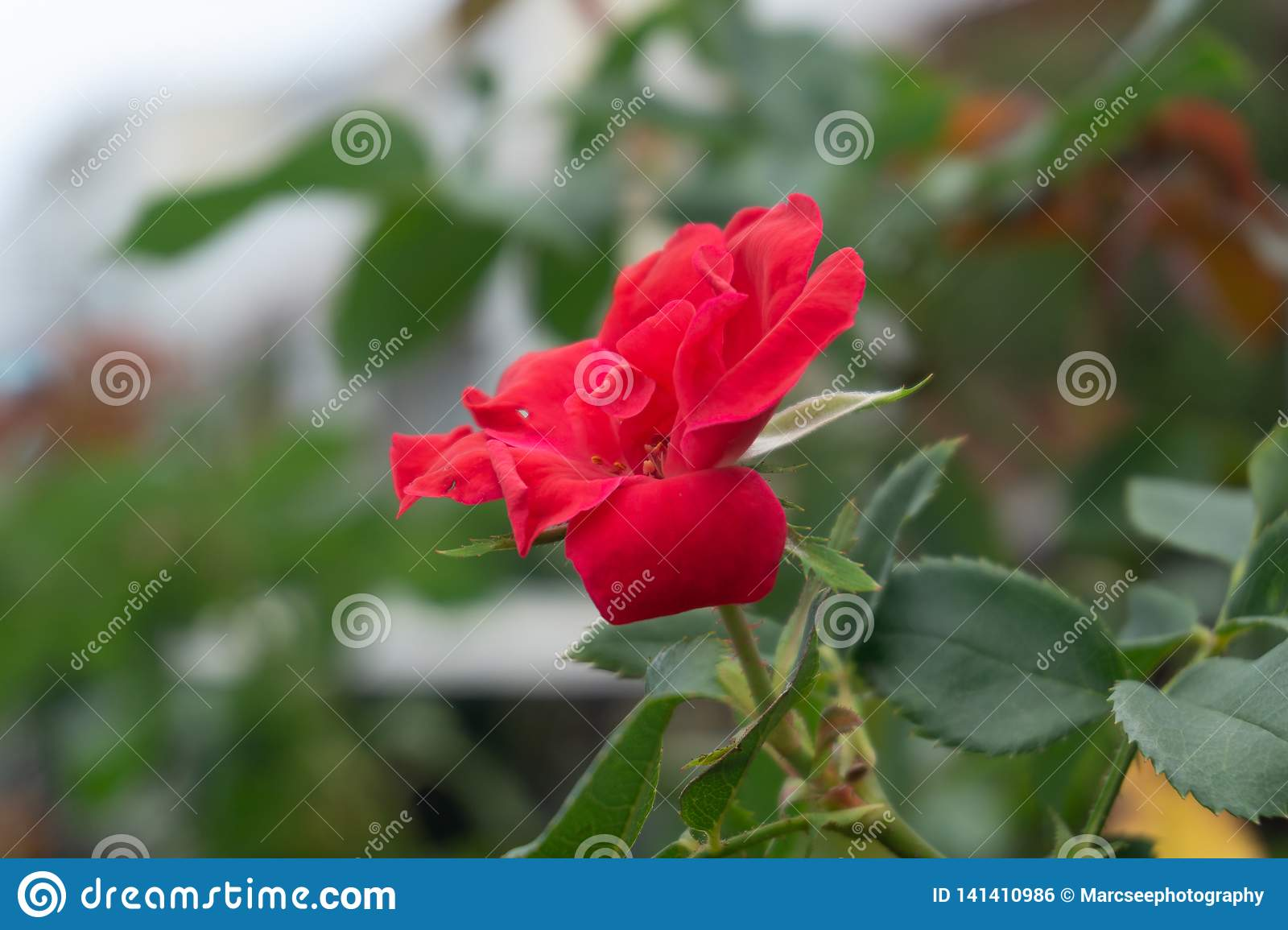 Small Red Rose Full Bloom