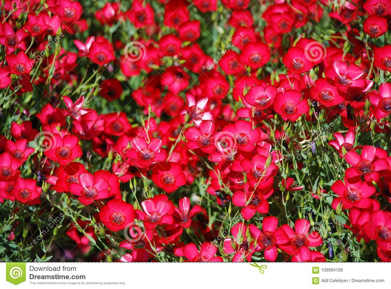 Summer Garden Red Flowers Fresh Blooming Tulips In The Spring