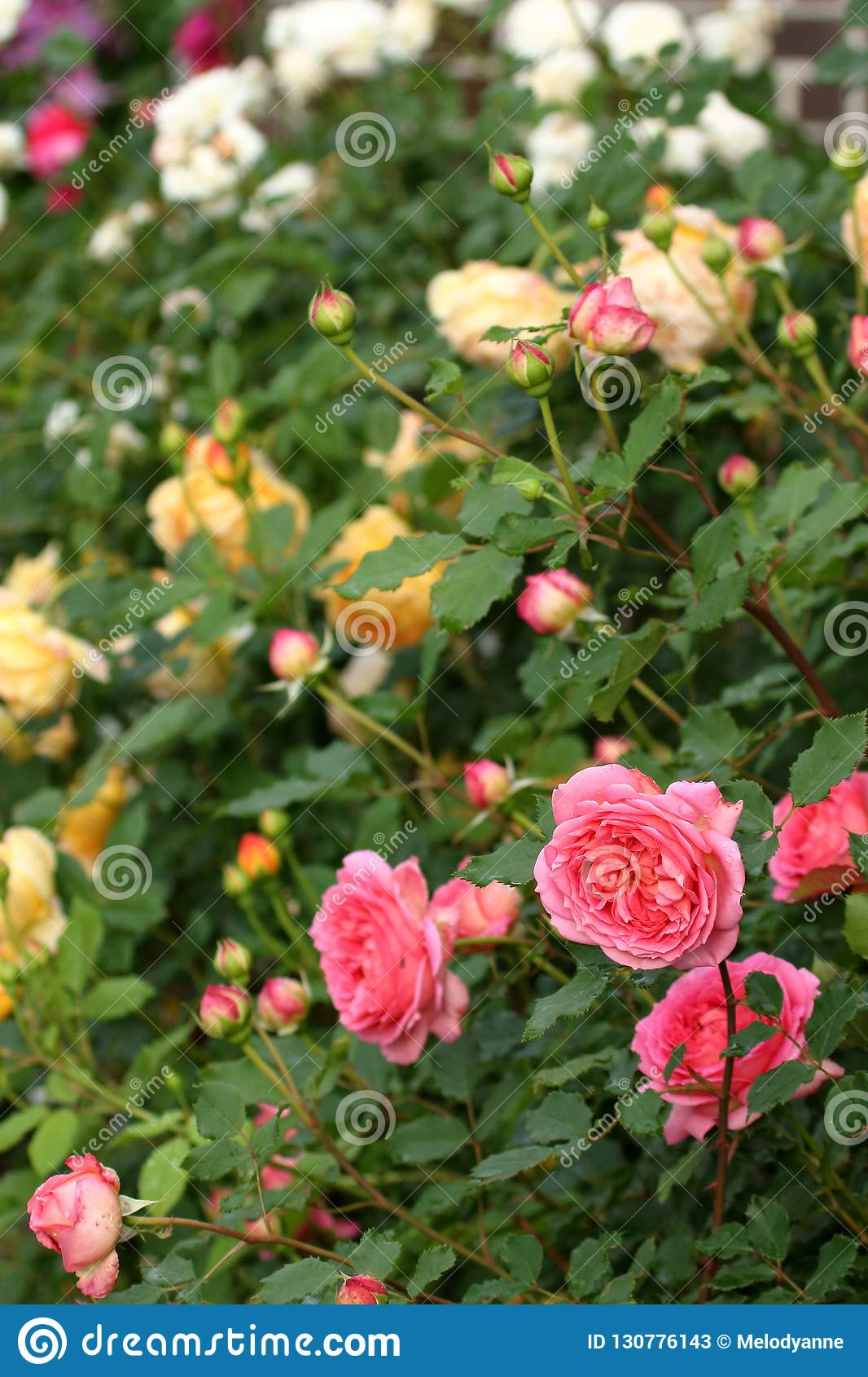 Small Rose Garden Stock Image Image Of Yellow Flowers 130776143