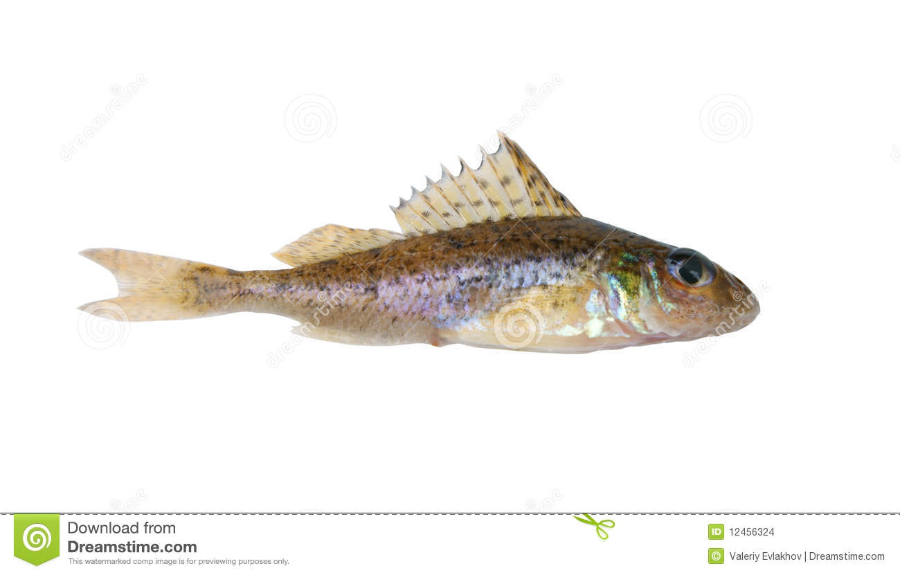 Small Ruff Fish Isolated Stock Images Image 12456324