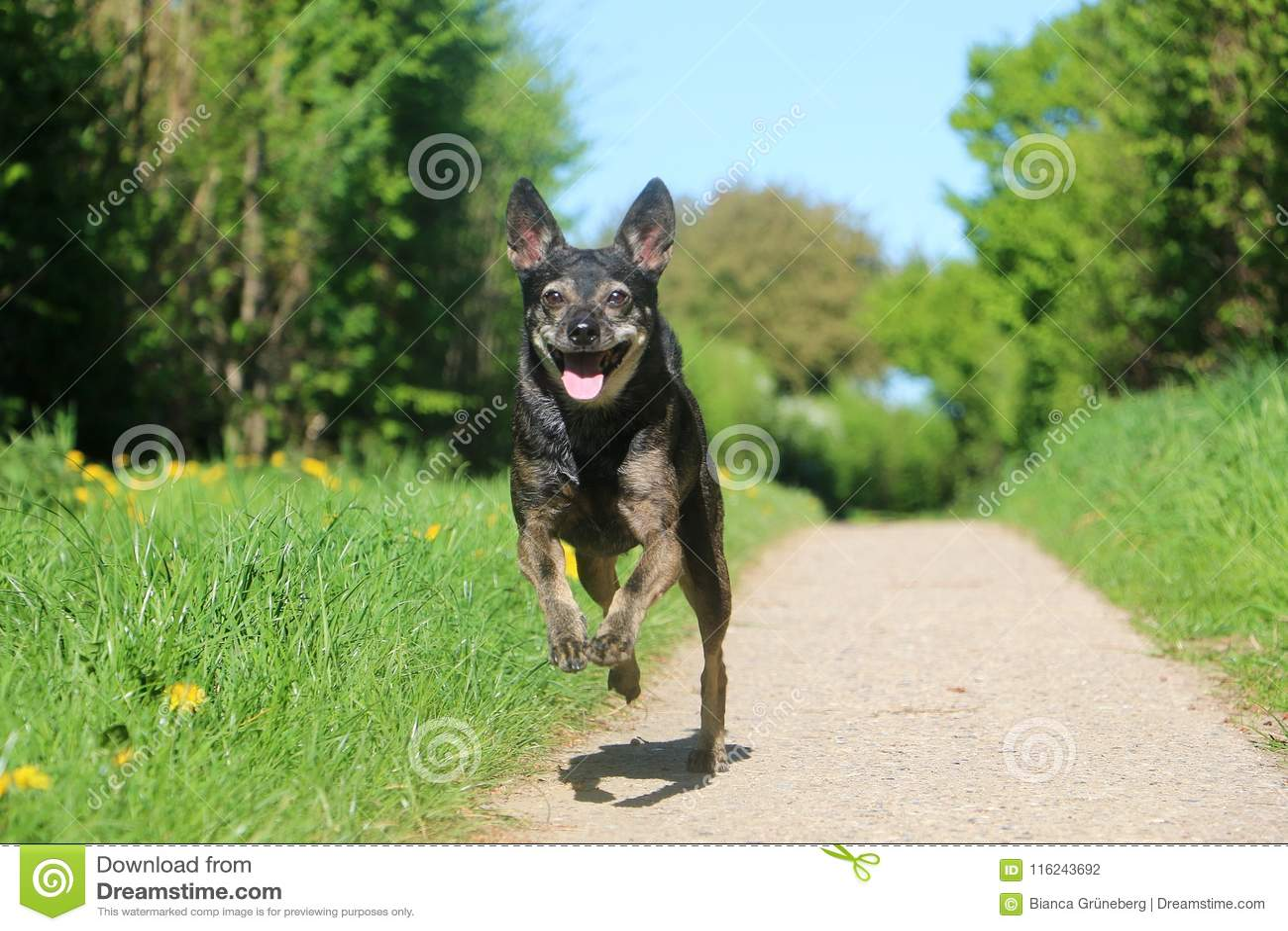 Small running dog on the street