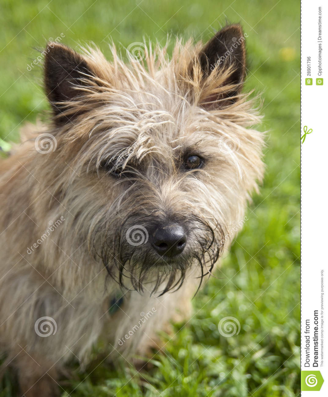 Displaying 17> Images For - Small Brown Dog...
