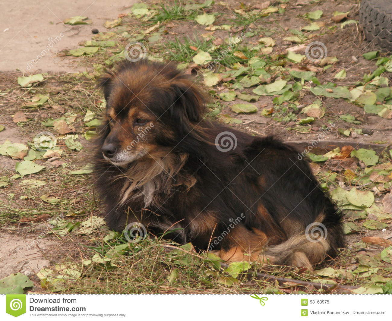 A Small Shaggy Dog Stock Image Image Of Dark Resting 98163975