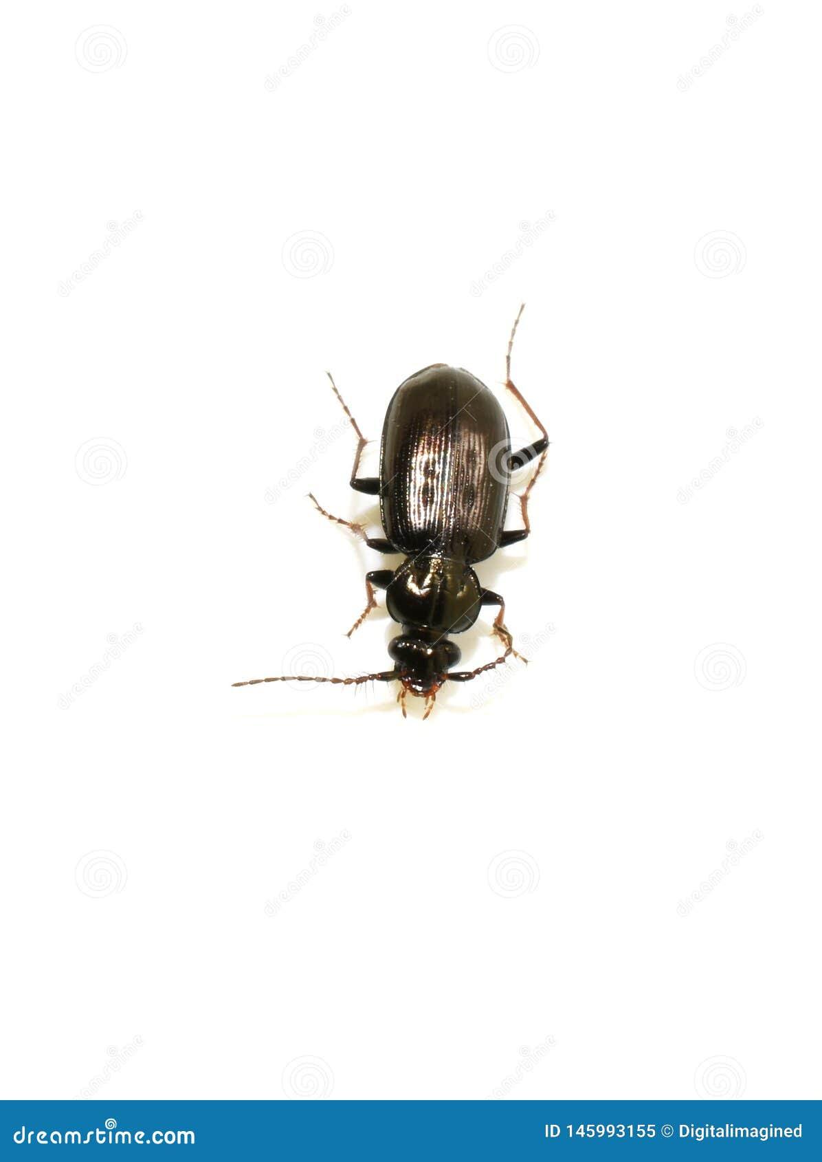 Loricera pilicornis Bristle antennae ground beetle
