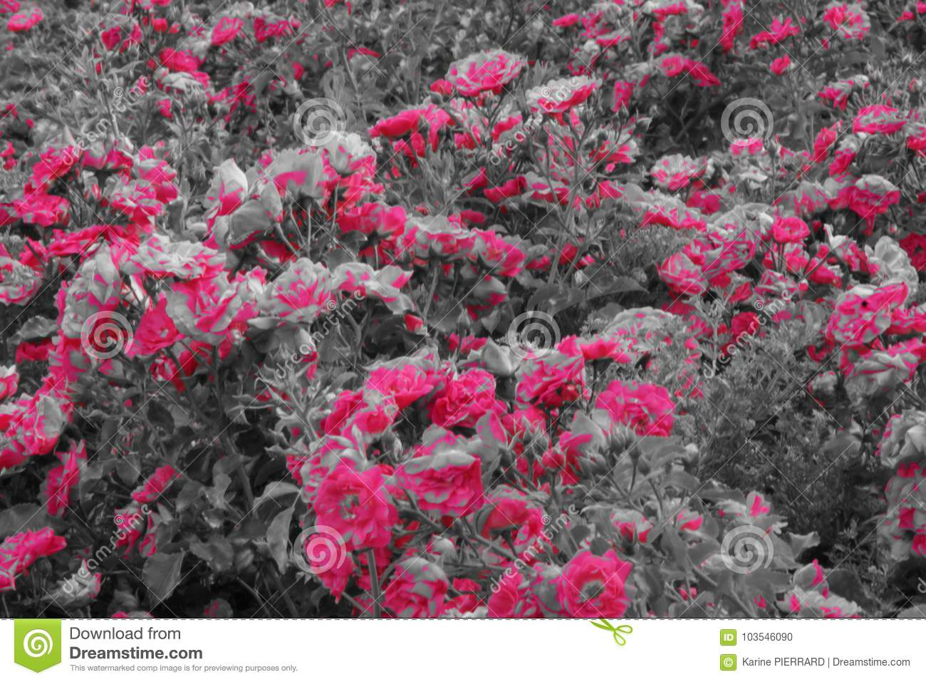 Small Shrub With Of Beautiful Pink Flowers Black And White Stock