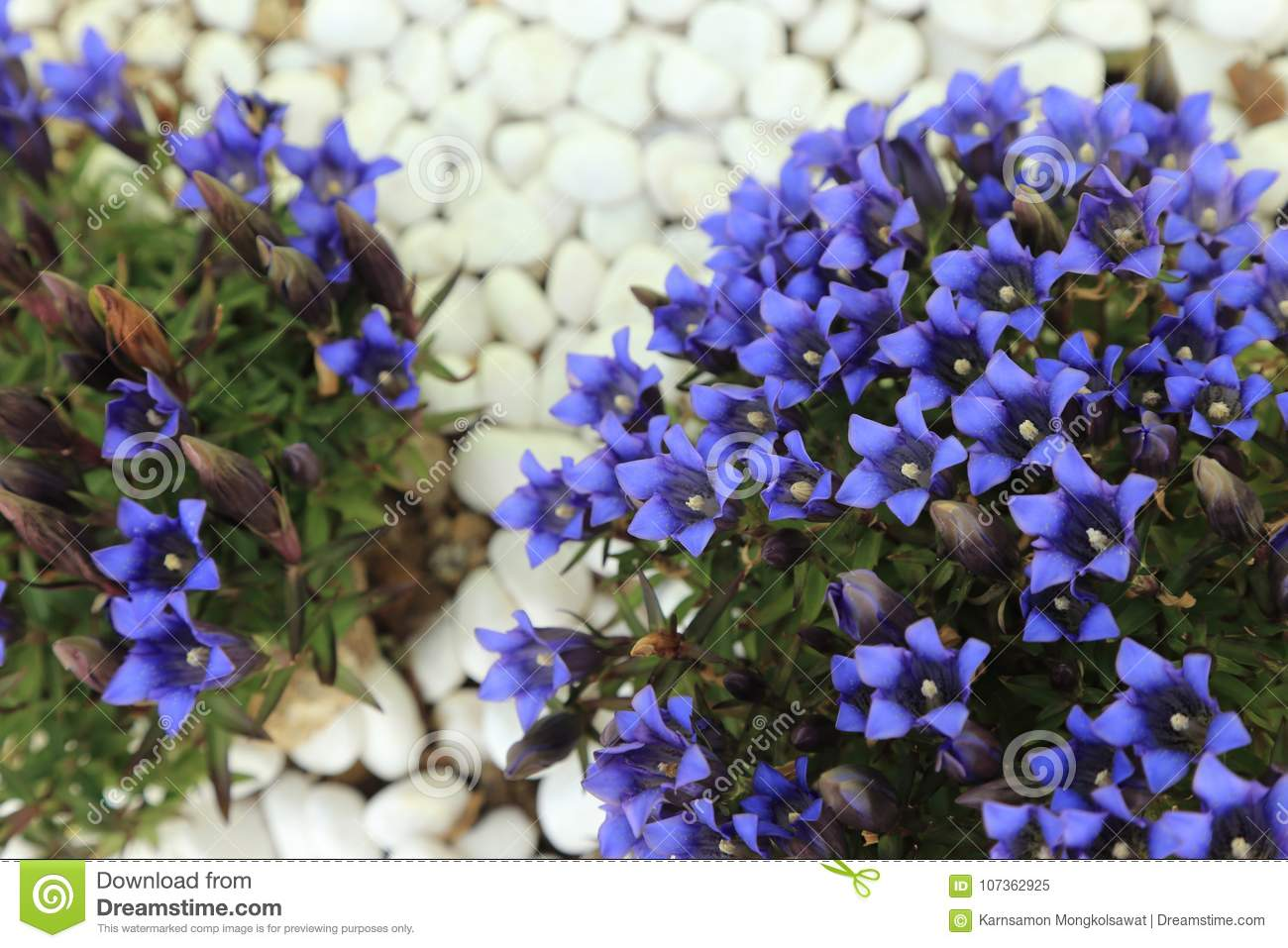 Small Shrub With Blue Flowers On White Pebbles Background Stock