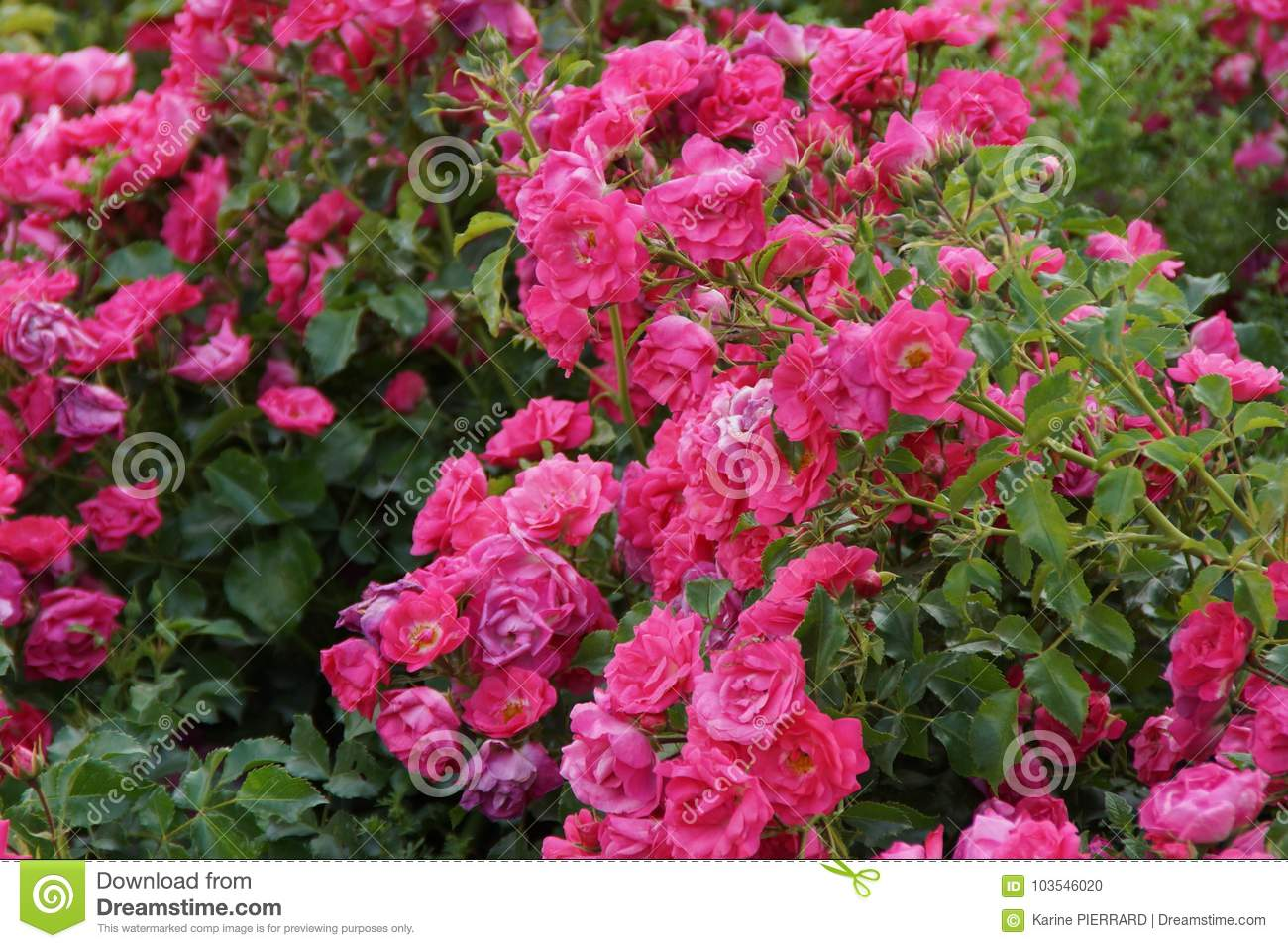 Small Shrub Decorates With Flowers Small Pink Flowers Stock Photo