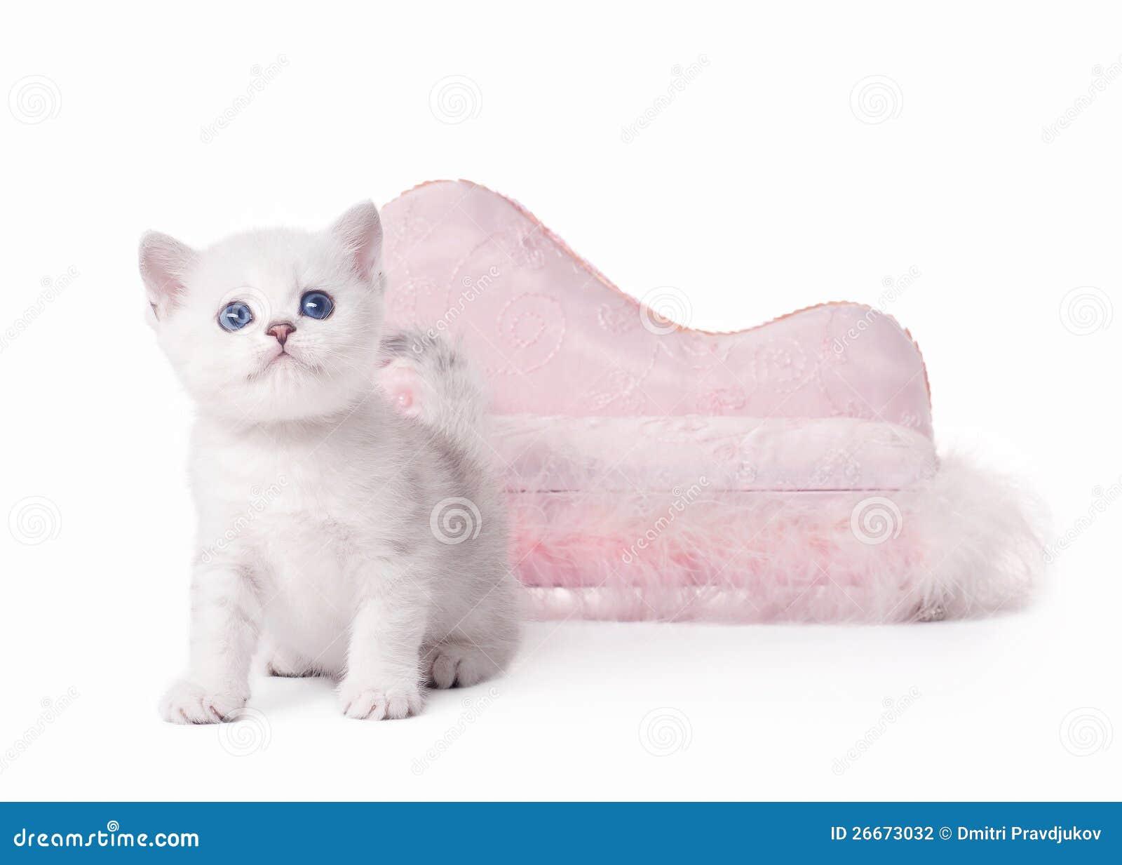 Small silver british kitten with pink divan