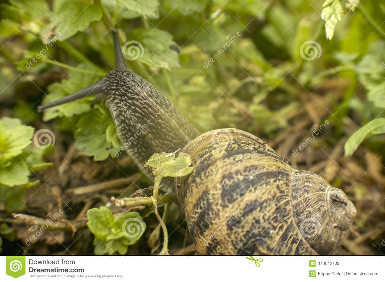Small Snail In The Vegetation In Search Of Food Stock ...
