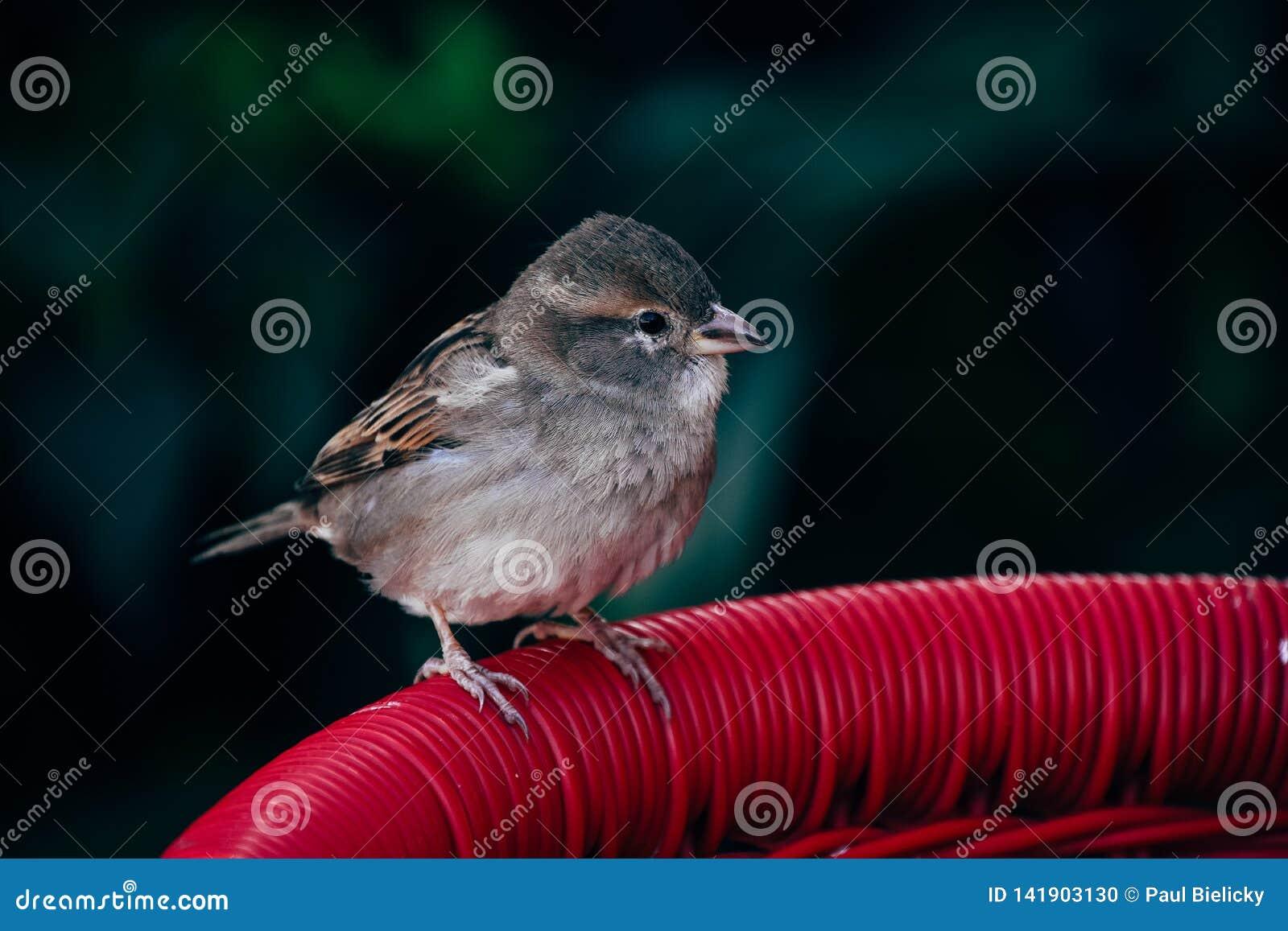 A small sparrow sits on a chair in Varedaro, Cuba.