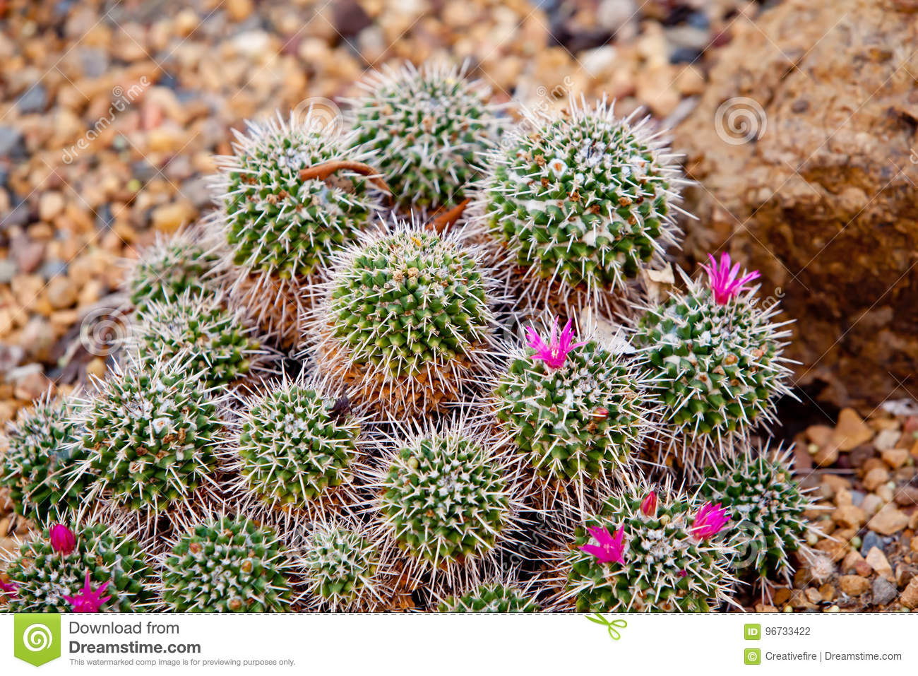 Small spikey cactus plant with tiny pink flowers stock photo image download small spikey cactus plant with tiny pink flowers stock photo image of green mightylinksfo