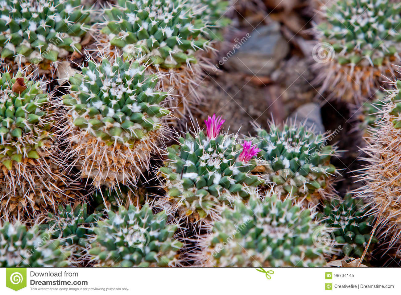 Small spikey cactus plant with tiny pink flowers stock image image download small spikey cactus plant with tiny pink flowers stock image image of horizontal mightylinksfo