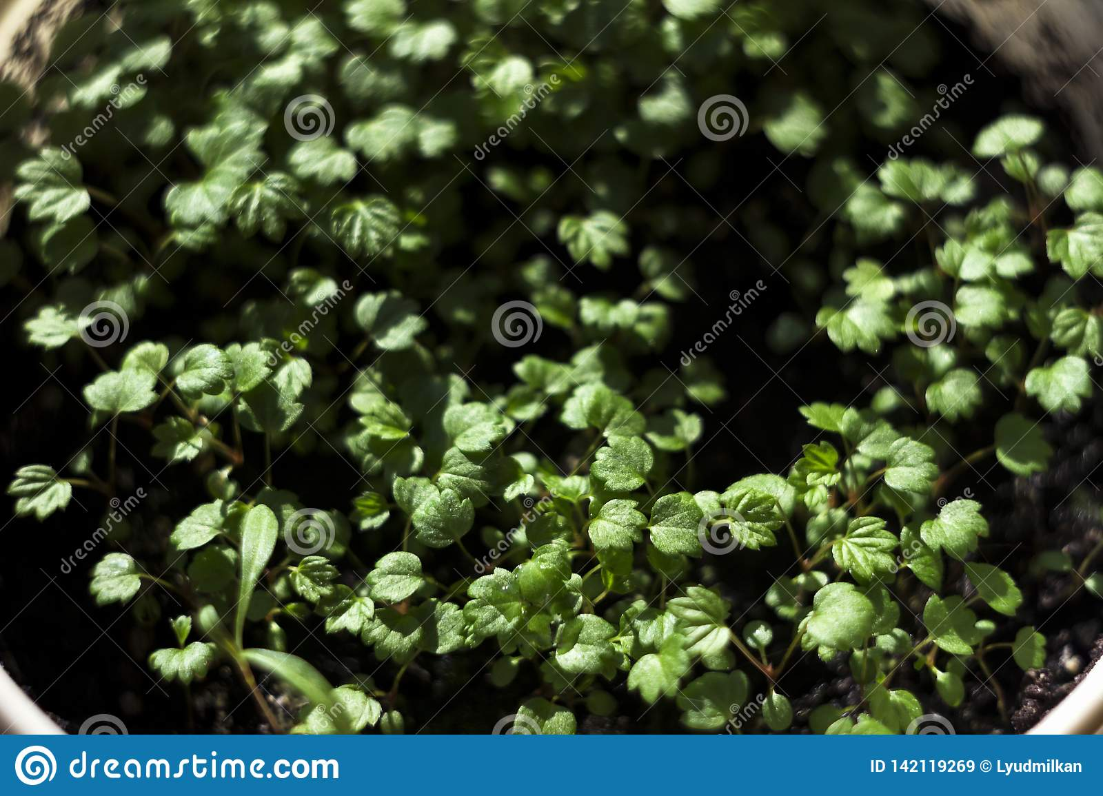 Small Strawberry Seedlings Growing In Boxes Indoor On Window