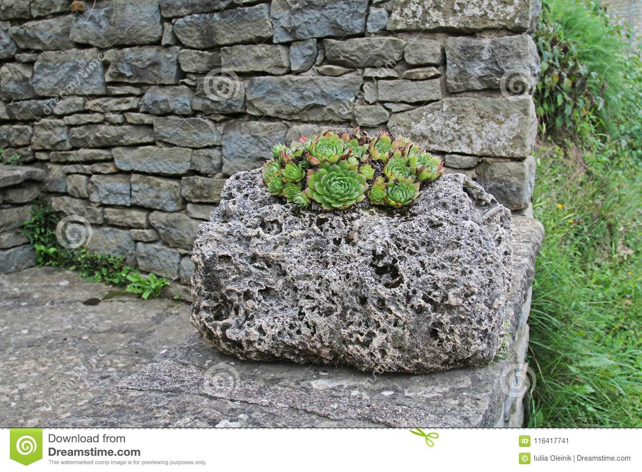 Small Succulents Growing On The Stone Rock Outdoors Stock Image Image Of Foliage Countryside 116417741