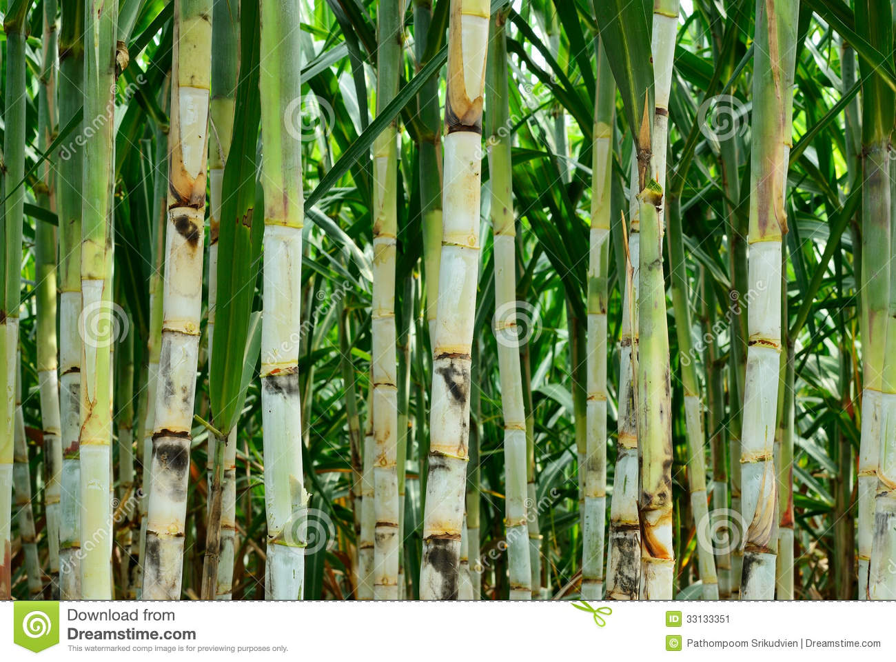 Small Sugar Cane Stock Image. Image Of Field, Yellow