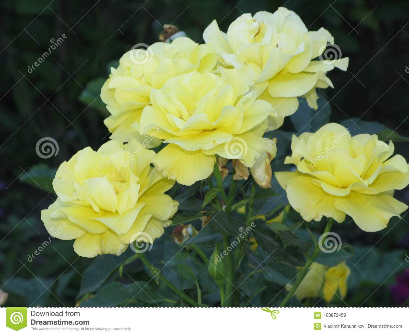 A Small Bouquet Of Light Yellow Roses Stock Image Image Of Yellow