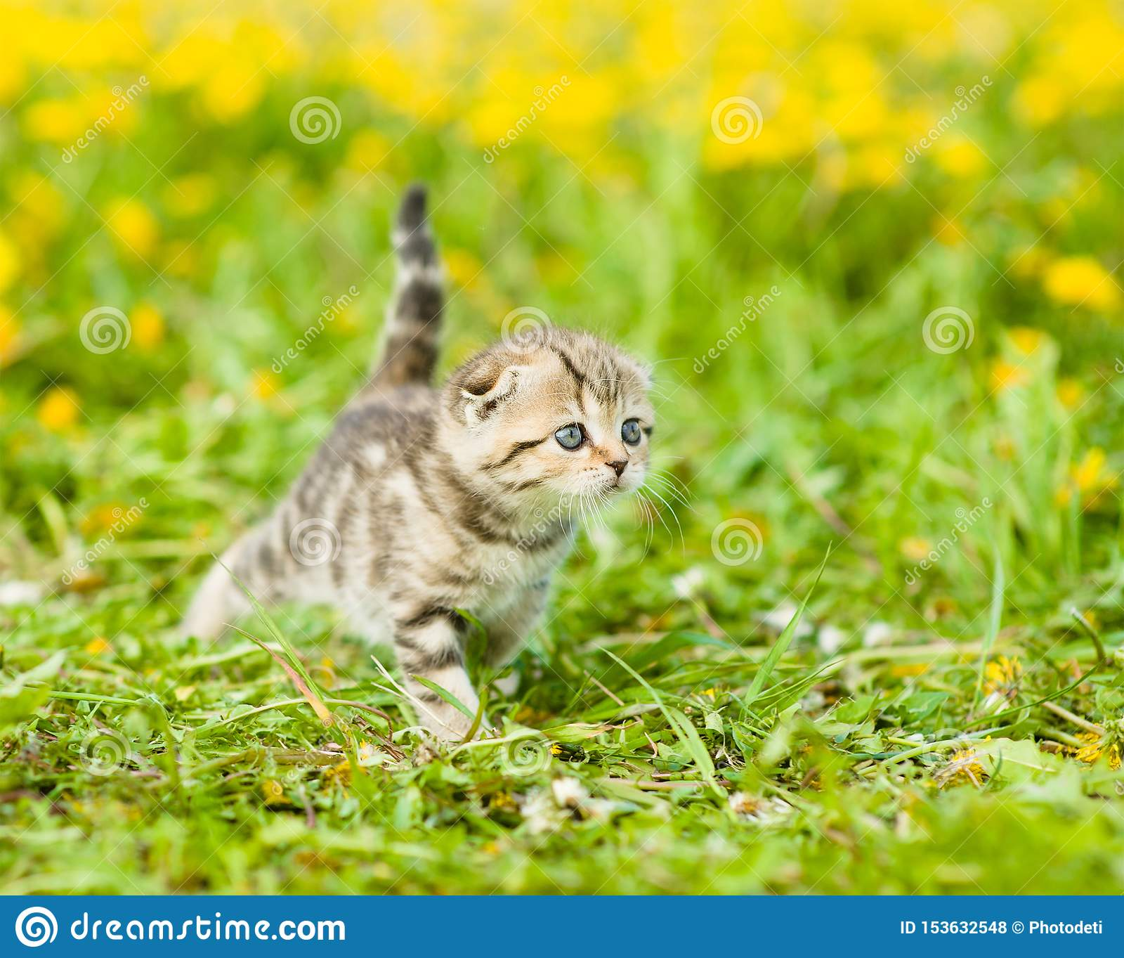 Small tabby kitten walking on a dandelion field