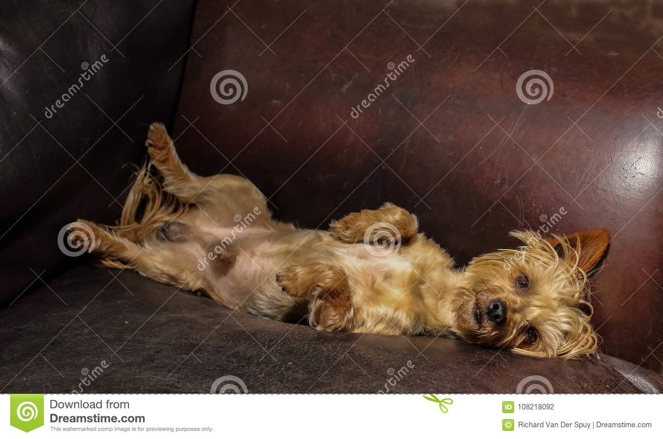 Small Dog Sleeping On A Leather Couch Stock Photo Image Of Brown