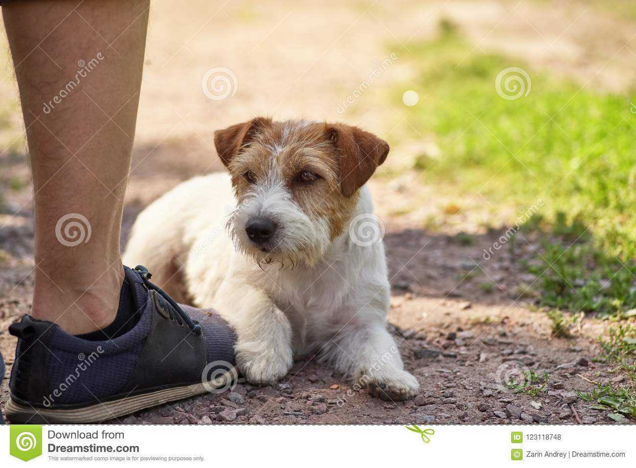 A Small Terrier Lies On The Owner`s Boot Stock Photo - Image