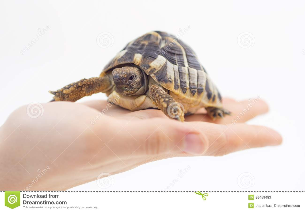 small tortoise turtle in hand stock photos image 36459483