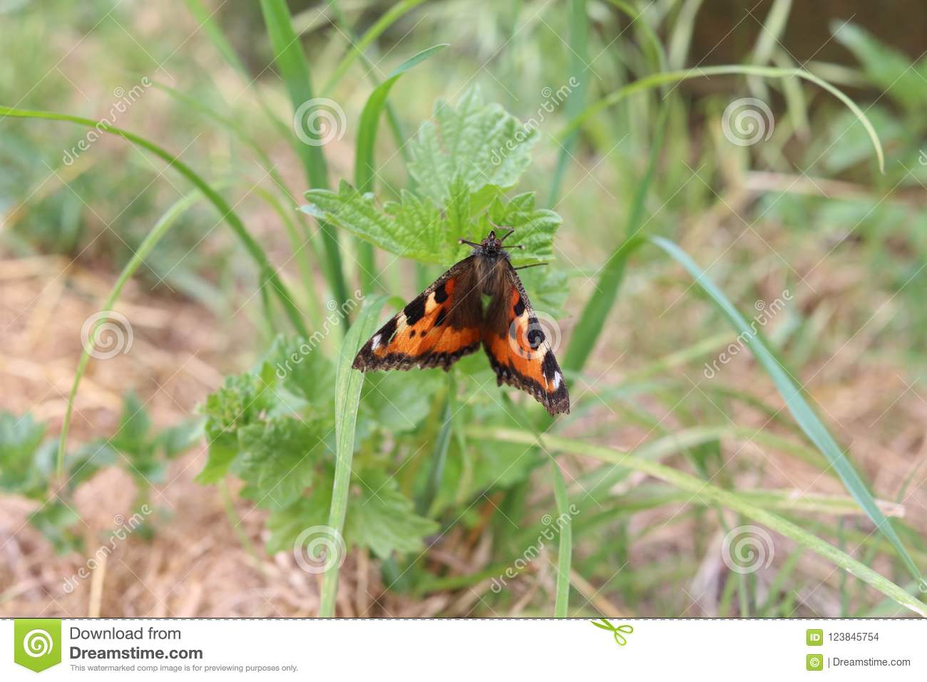 Small Tortoiseshell Butterfly Stock Photo - Image of