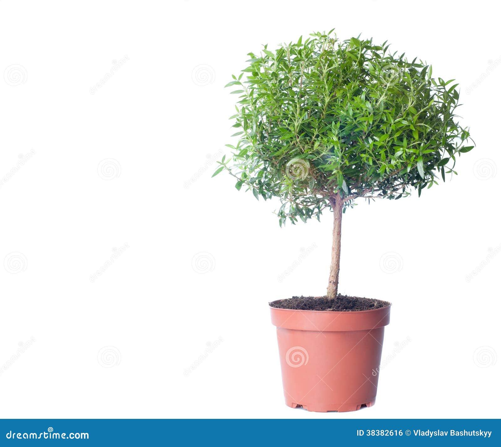 Small tree growing on white background stock photo image of large small tree growing on white background mightylinksfo