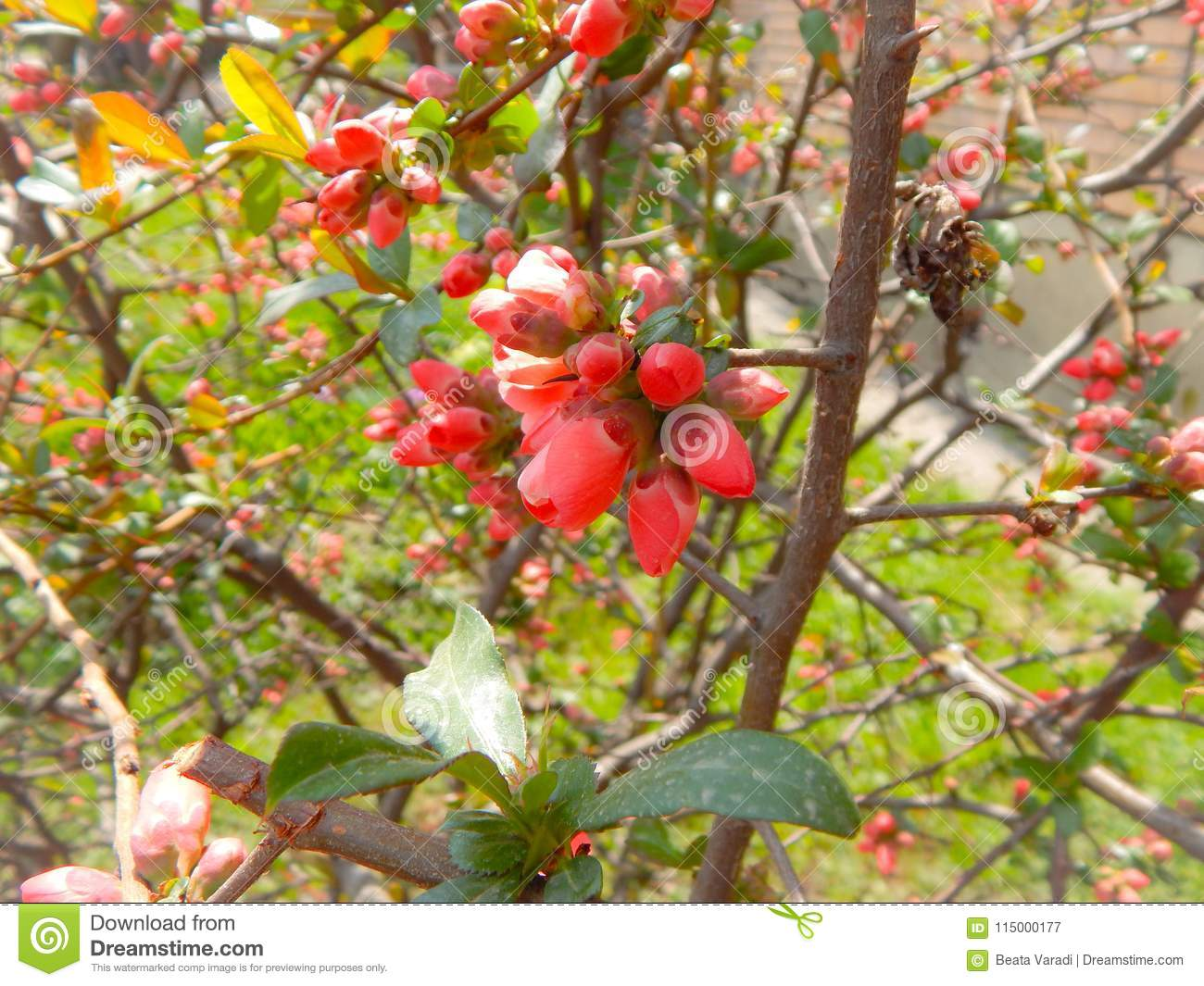 Small Tree With Pink Flower Buds Stock Image Image Of Petal