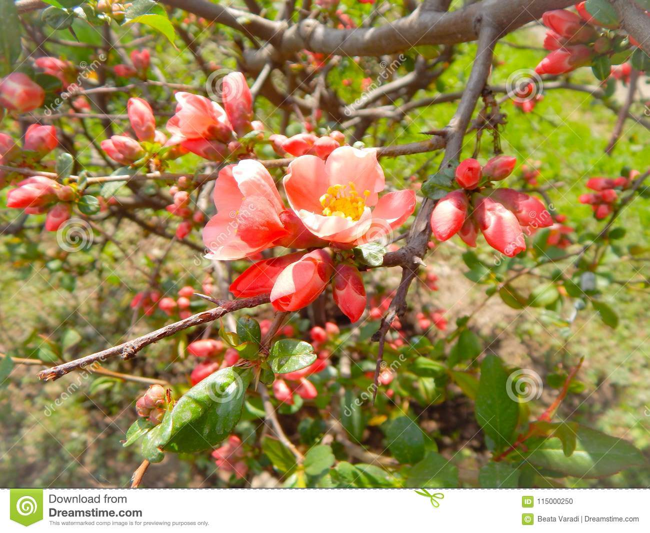 Small Tree With Pink Flowers And Flower Buds Stock Photo Image Of