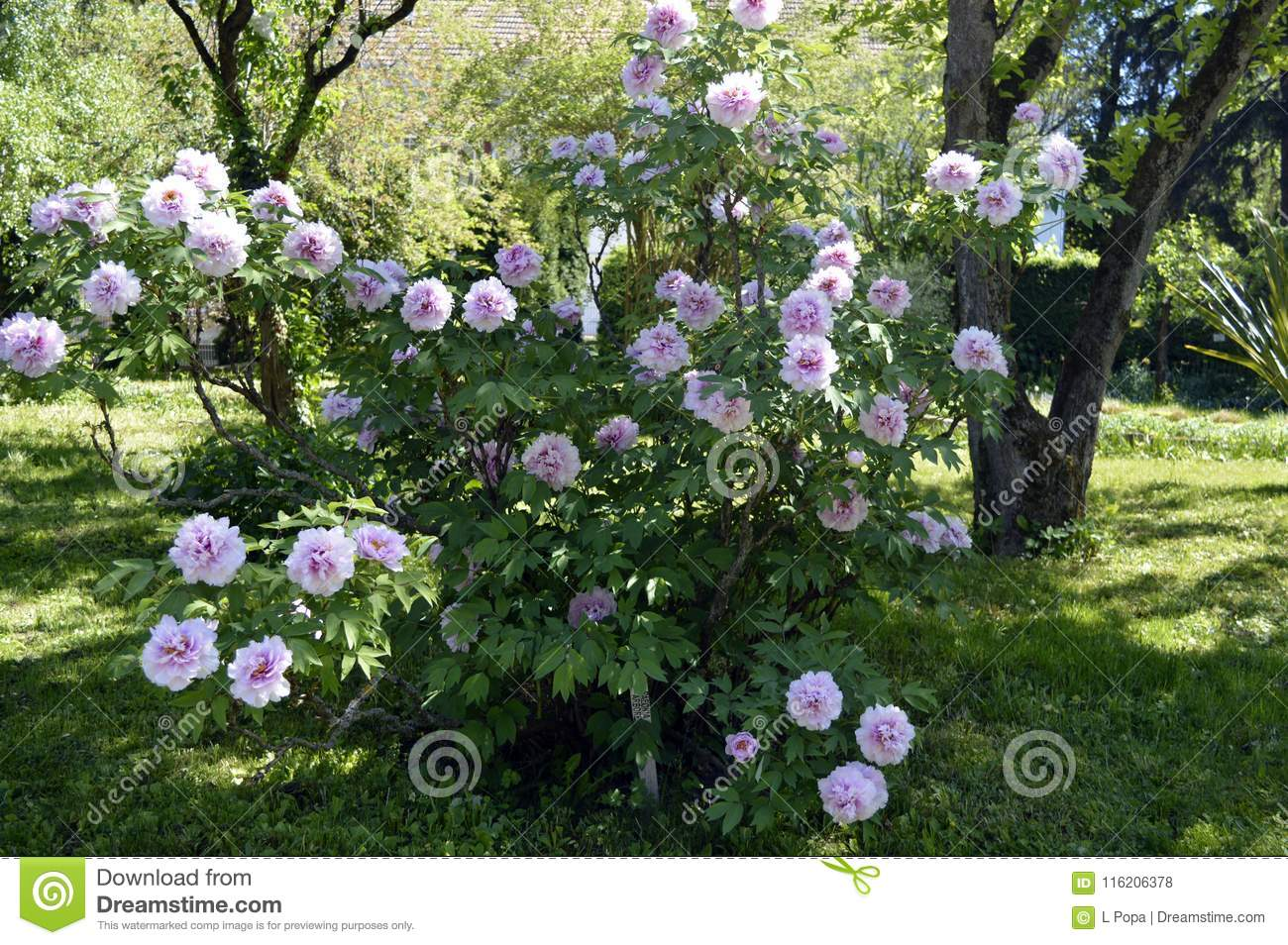Small Tree With Pink Flowers Stock Photo Image Of Forest Plants