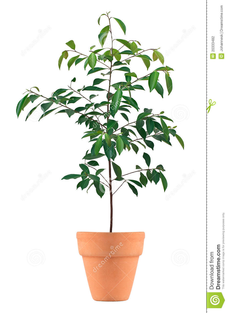 Small tree in a pot stock photo image of small tree for Short trees