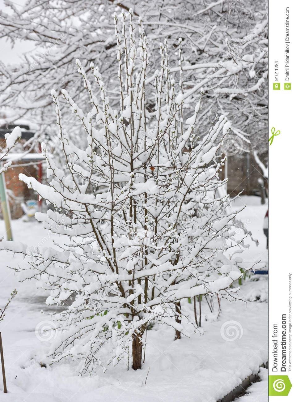 A small tree under snow in April