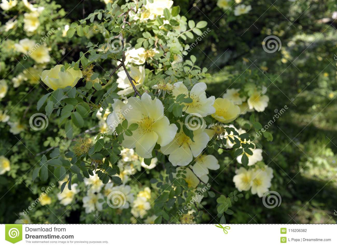 Small Tree With Yellow Flowers Stock Photo Image Of Forests