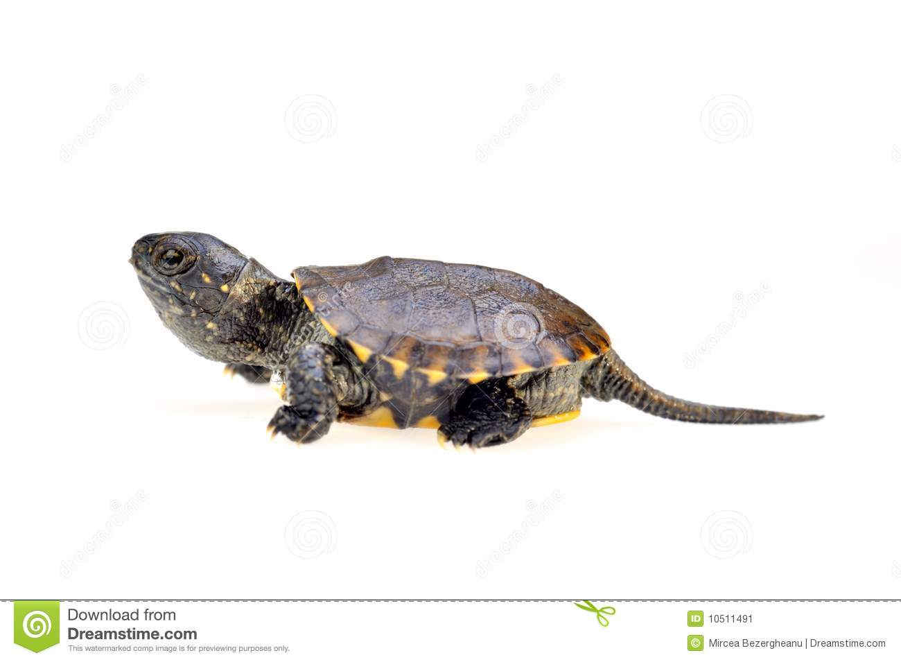 Small Turtle Stock Image - Image: 10511491