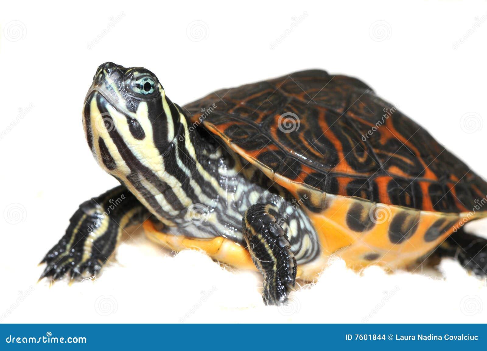 turtle white background - photo #43