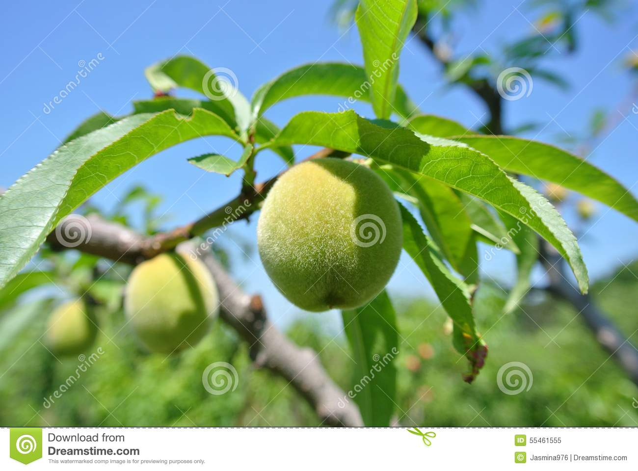 Small Unripe Green Peaches On The Tree In An Orchard Stock