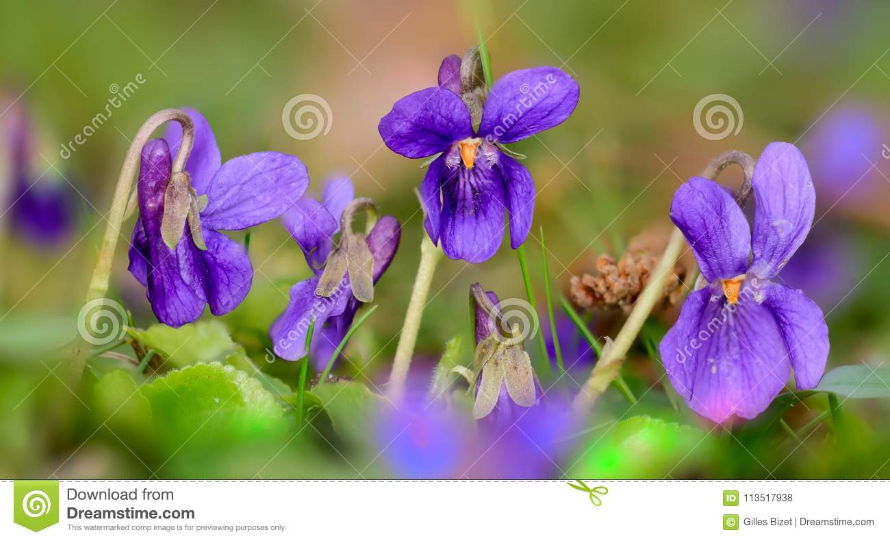Small Violets in the meadow