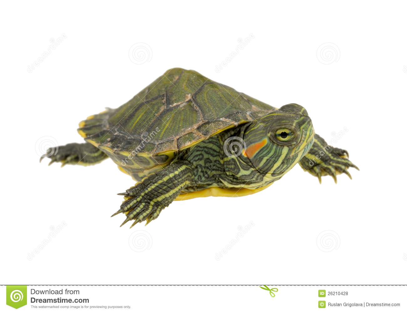 Small Water Turtle Royalty Free Stock Photos - Image: 26210428
