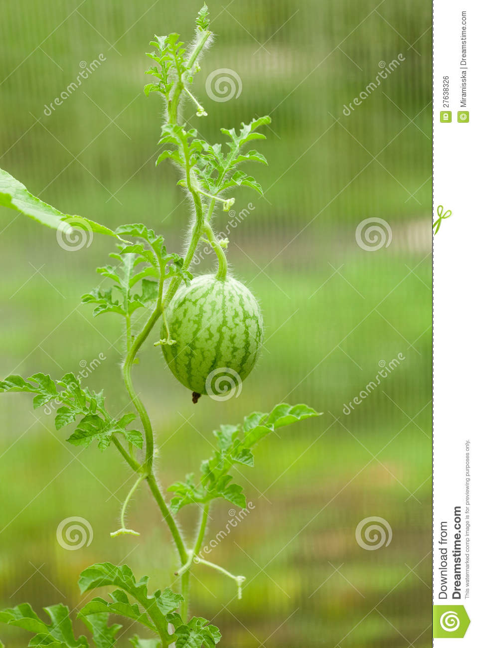 Small Watermelon Royalty Free Stock Image - Image: 27638326