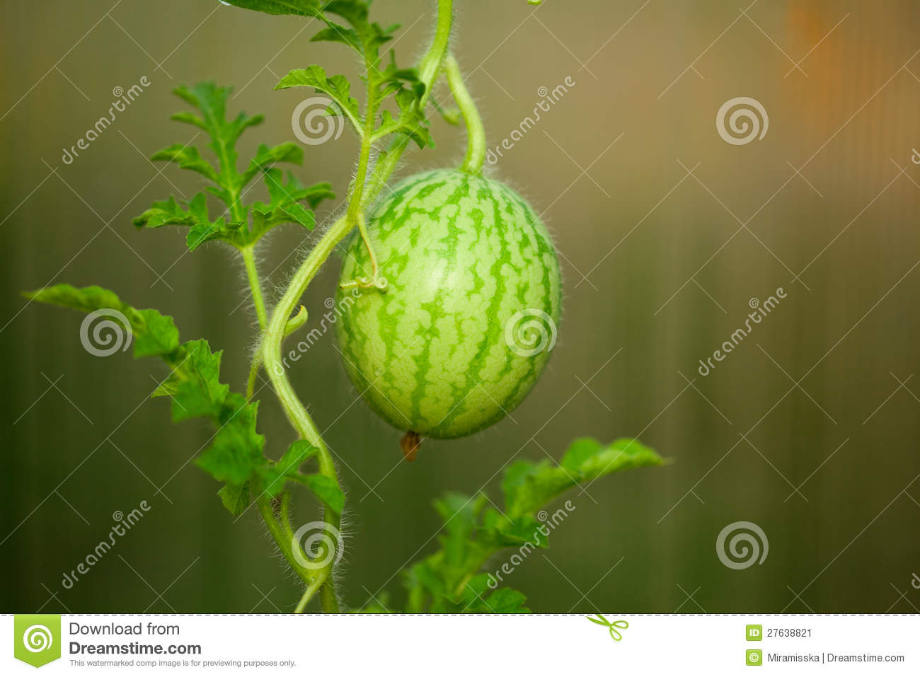 Small Watermelon Stock Image - Image: 27638821