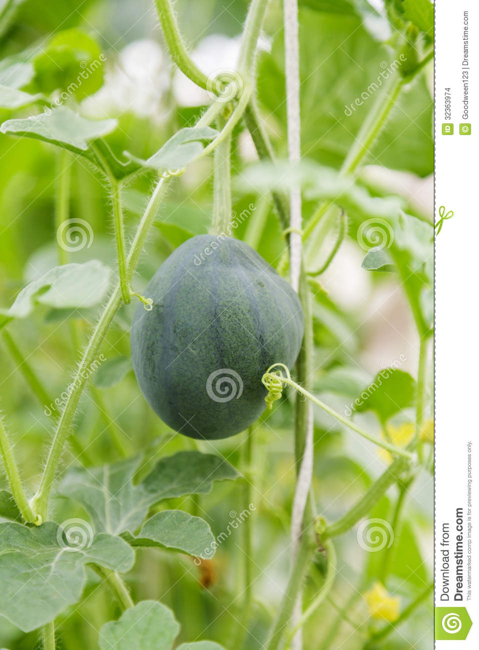 how to move watermelon plants